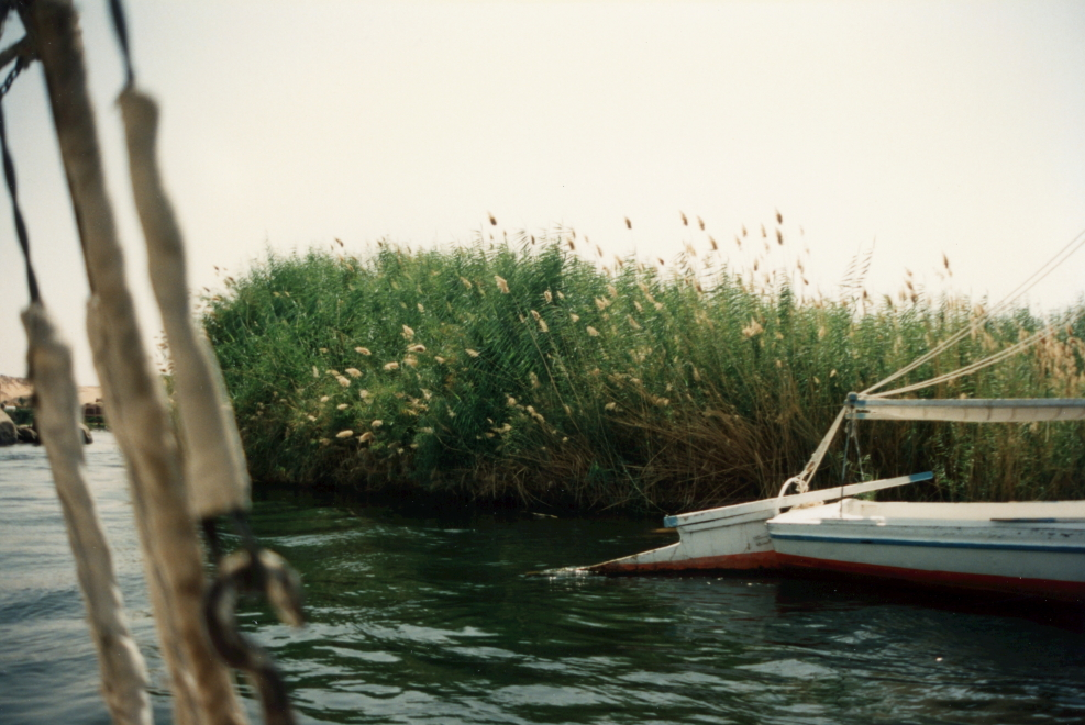 Reeds on the Nile River