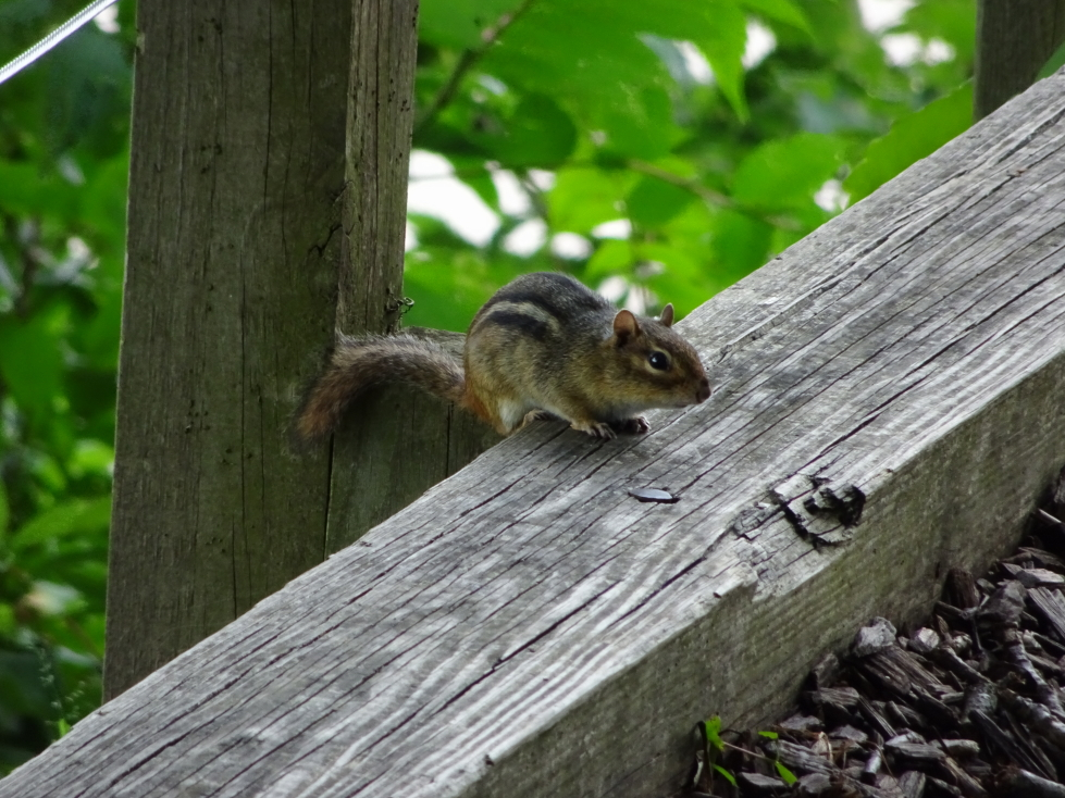 A cute chipmunk at Effigy Mounds NM