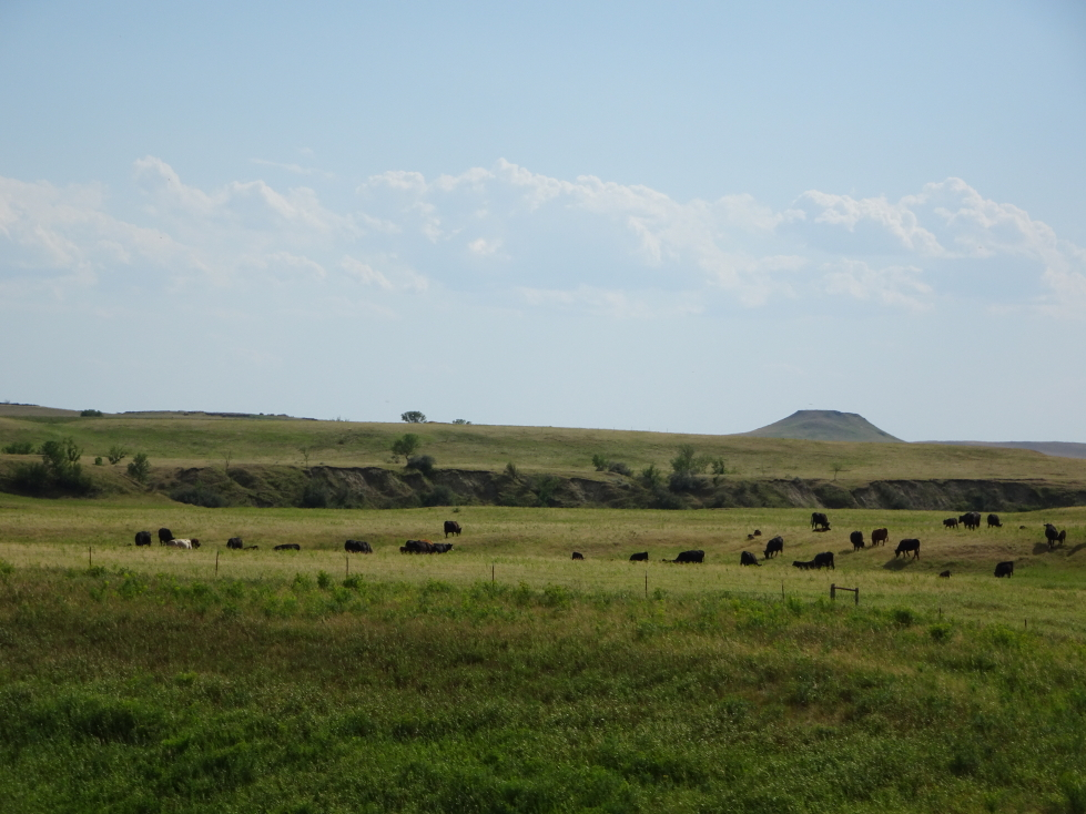Herd of cattle, a common sight in North Dakota