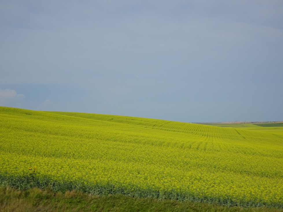 There were fields of a bright yellow crop every so often