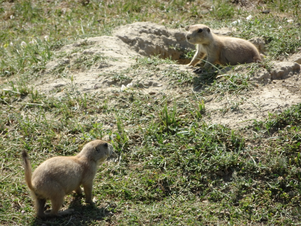 Prairie dogs in the South Unit of Theodore Roosevelt National Park
