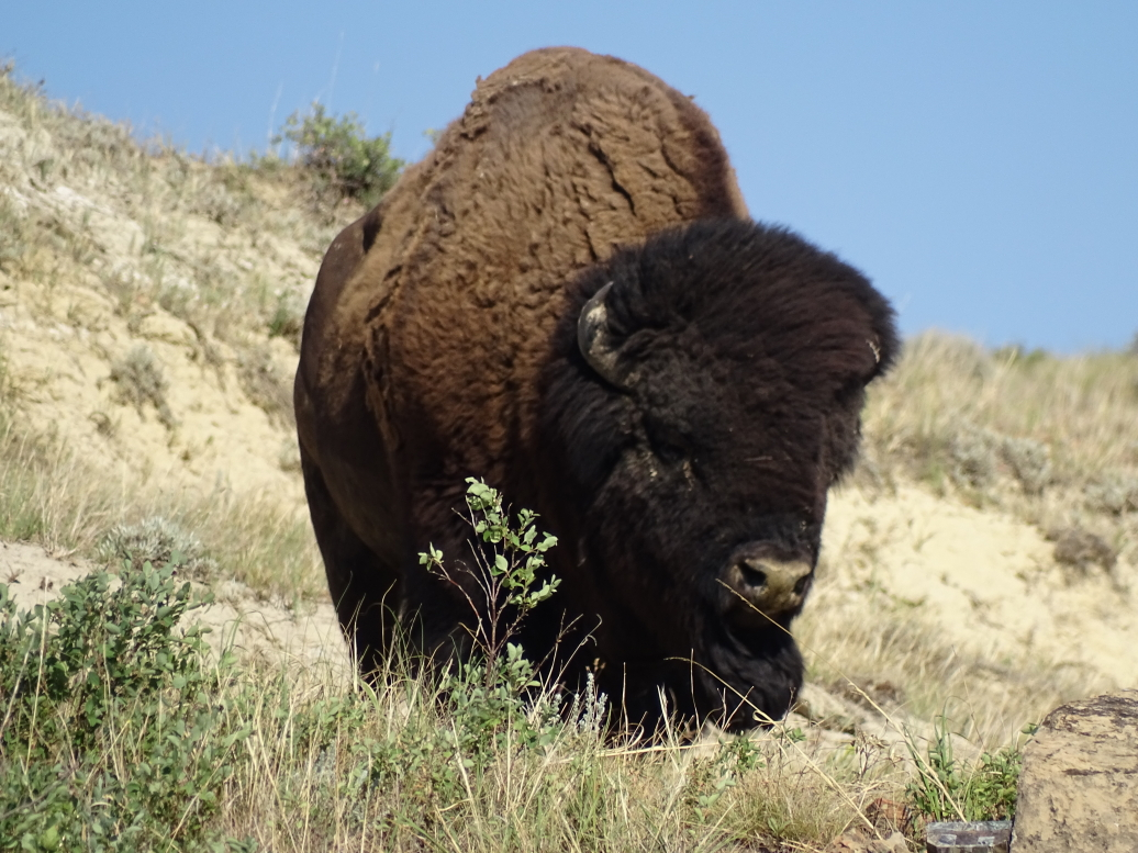 Lone bison in Theodore Roosevelt NP