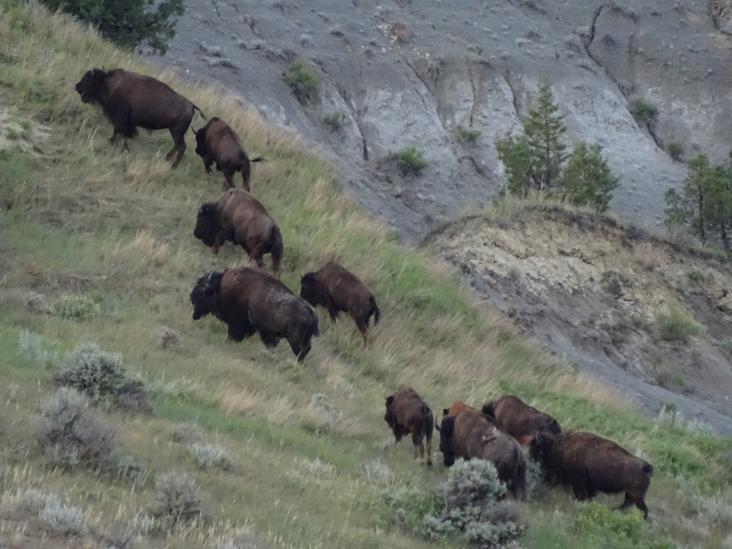Another bison herd in the North Unit