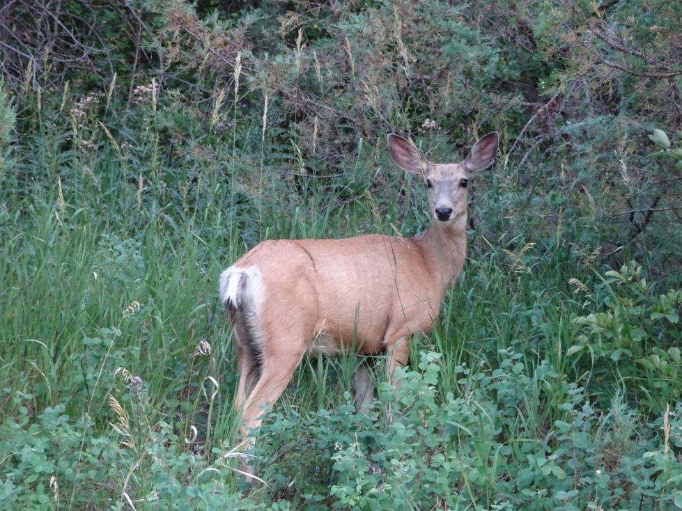 Deer in the North Unit of Theodore Roosevelt NP